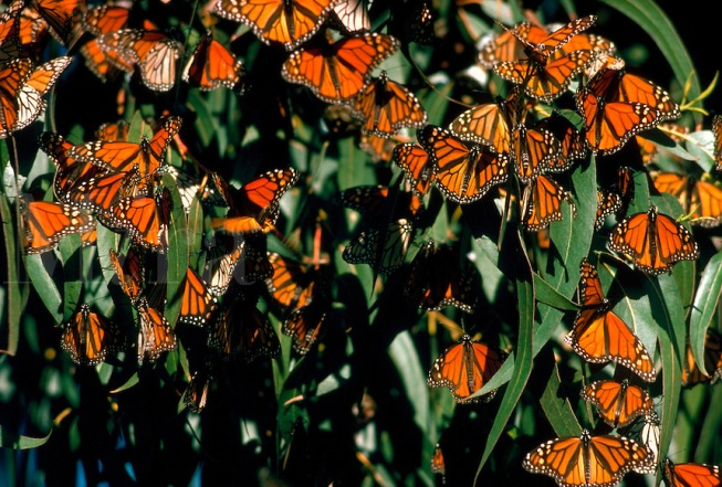 Monarch butterflies at Pismo Beac